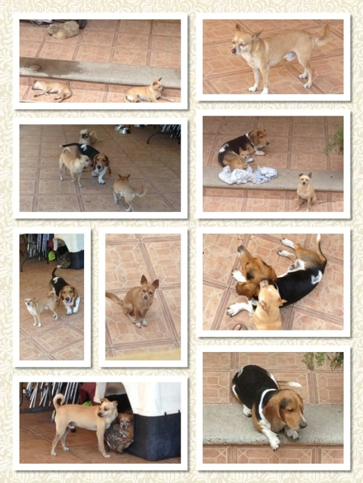 Baloo, the basset hound, Peanut, the chihuahua, Bobby, the shih tzu and Petit, the slightly larger chihuahua